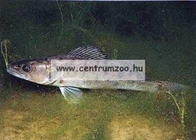 Nevis Snatch 2,70m 20-55gr (1821-270) pergető bot