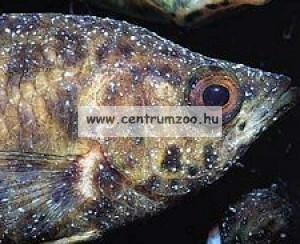 Sera Costapur 100ml darakór halgyógyszer (2140)