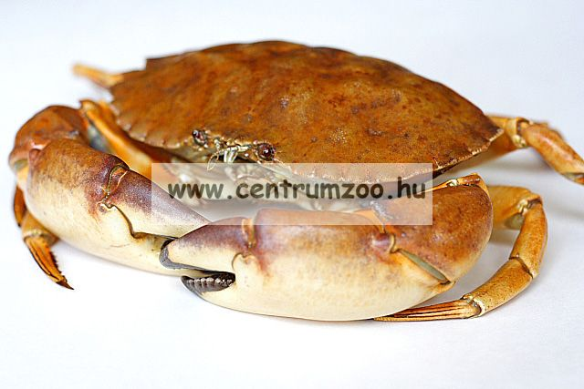 Dynamite Baits Fluro Pop-Up Monster Crab bojlik (DY556 DY566 DY567)
