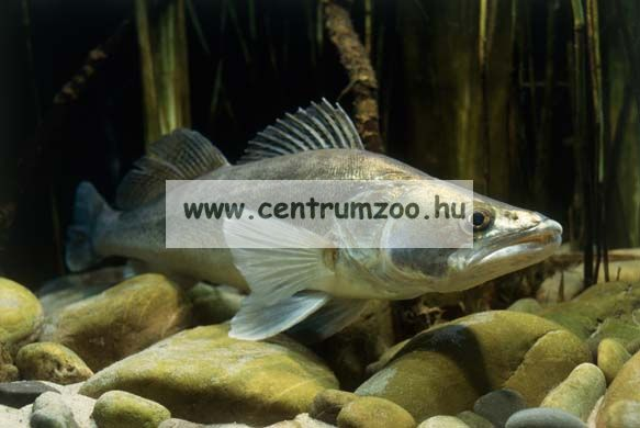 Nevis Snatch 2,40m 14-45gr (1820-240) pergető bot