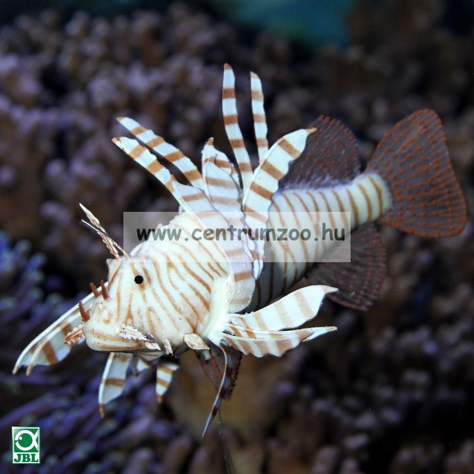 JBL Motion Deco Lionfish 1db látványos oroszlánhal XL  (60455)
